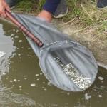Род сиговых, семейство лососевых: СГК зарыбляет сибирские водоемы ценными видами рыб