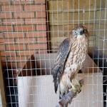 Очередной пернатый хищник в Центре реабилитации «Крылья»